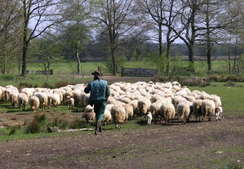 Extra steun gescheperde schaapskuddes in Drenthe