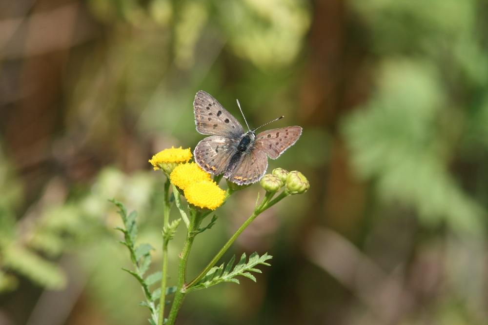 Elper westerveld, Bruine vuurvlinder - Bertil Zoer