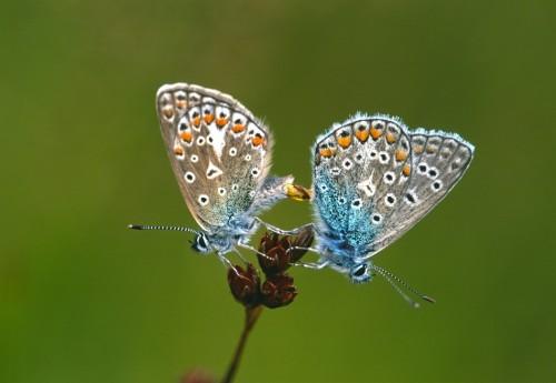 Heideblauwtjes - Jaap de Vries