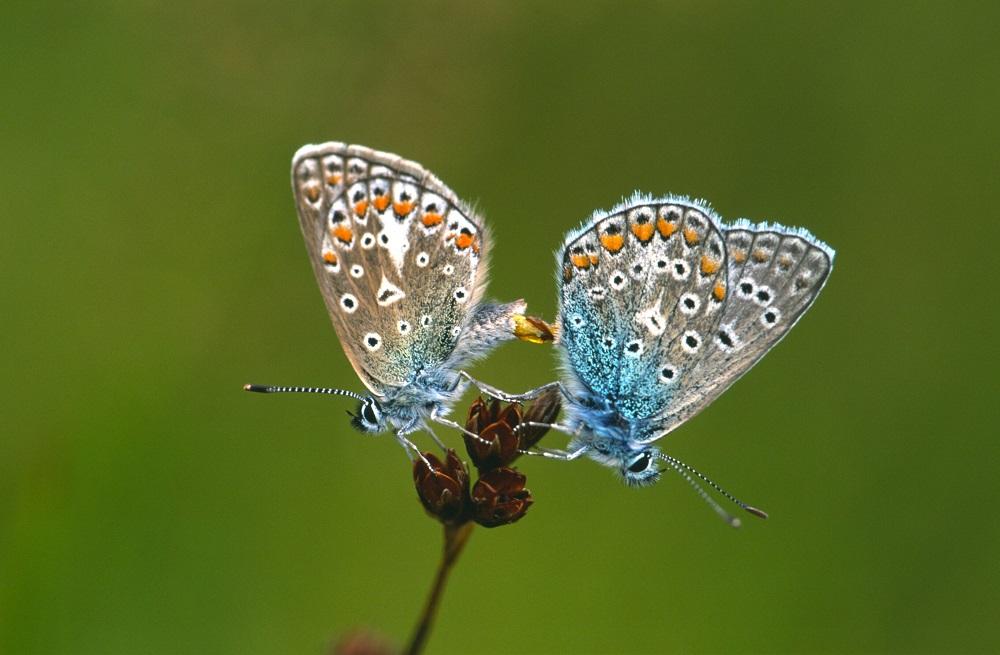 Dalerpeel, Heideblauwtjes - Jaap de Vries