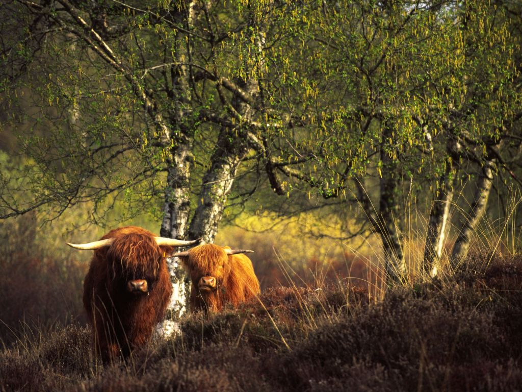 Schotse Hooglanders. Foto: Jaap de Vries