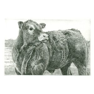 Ets Han van Hagen Limousin rund