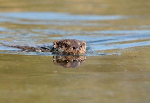 Otter terug in het Oude Diep