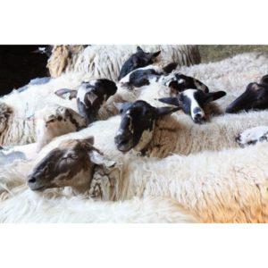 Schoonebeker schapen