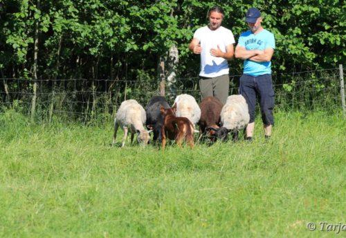 College tour schapen drijven door David Hart