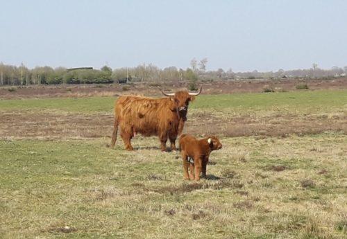 Vijftienhonderdste Hooglander kalfje geboren