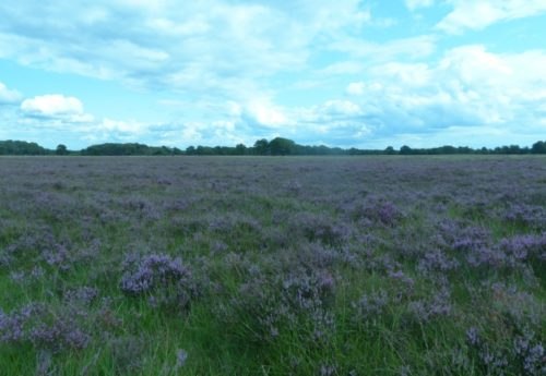Heide bloeit paars ondanks droge zomer